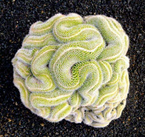 кактус-мозък