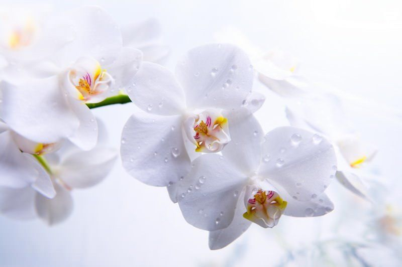 Пет цветя фън шуй